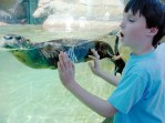 Young child enjoys watching one of the Calvert Marine Museum's famous otters.