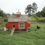 A mother hen and her baby chicks forage for insects at Allen's Heirloom Homestead