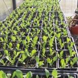 Heirloom vegetable seedlings for sale March until mid-May at Allen's Heirloom Homestead