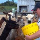 Alpacas are an important an popular part of Moor or Less Farm.