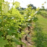 These grapes produce award winning wine at Perigeaux Winery