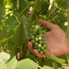Grapes growing at Running Hare Vineyards